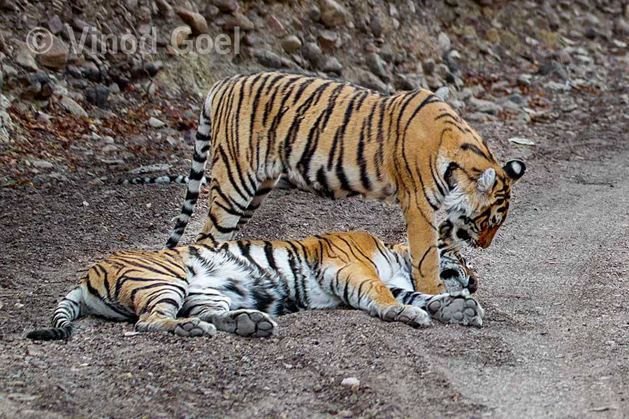 Tigress with cub at Ranthambore Tiger Reserve