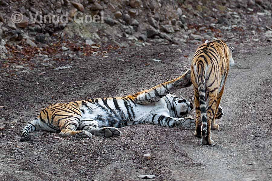 Tigress with cub at Ranthambore Tiger Reserve1
