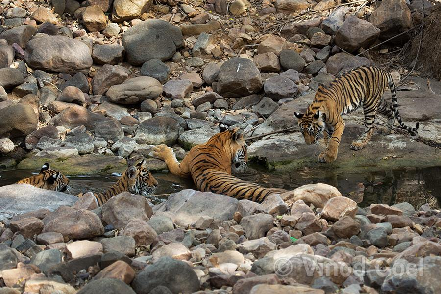 Tigress with cubs at Ranthambore Tiger Reserve