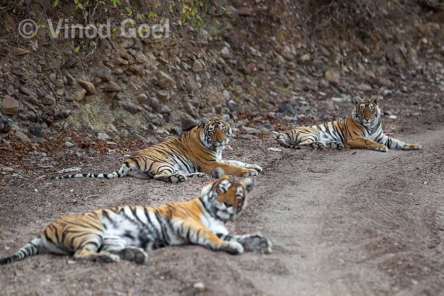 Tigress with two cubs at Ranthambore Tiger Reserve