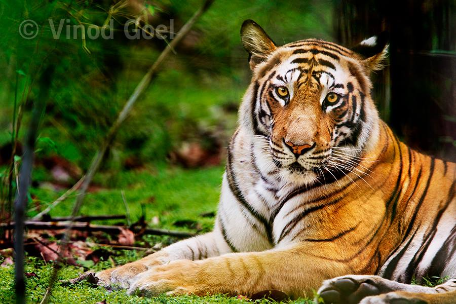 Tigress at Bandhavgarh National Park
