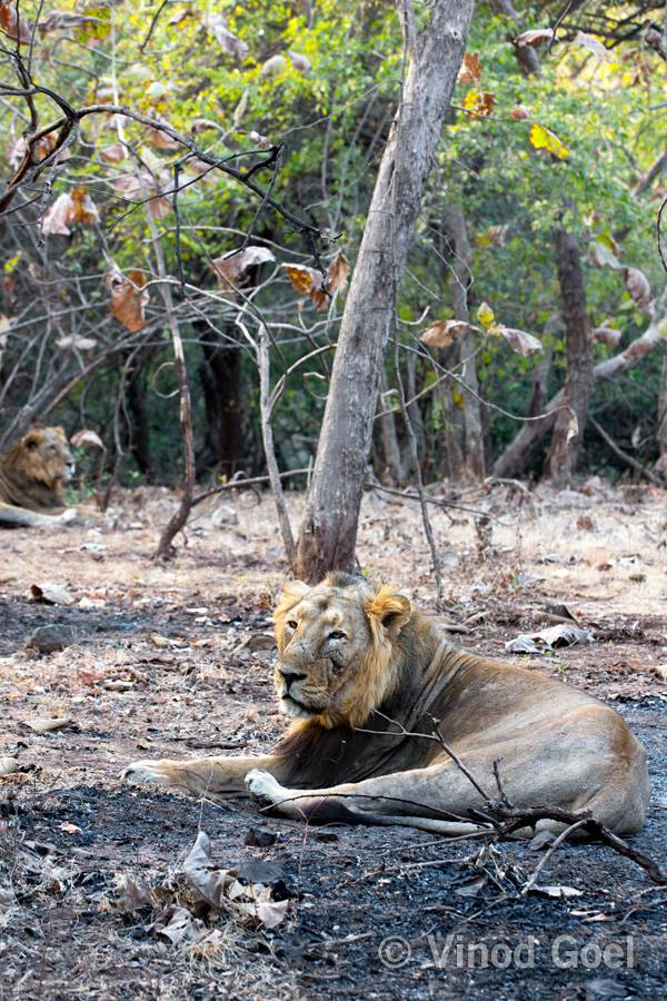Two Asiatic Lion at Gir National Park