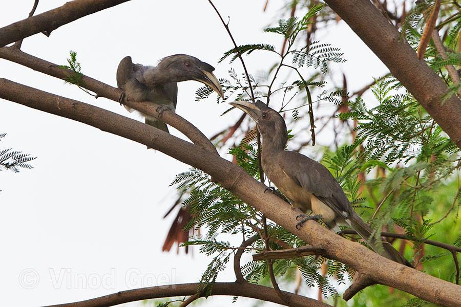 Two Grey Hornbill Female at Delhi