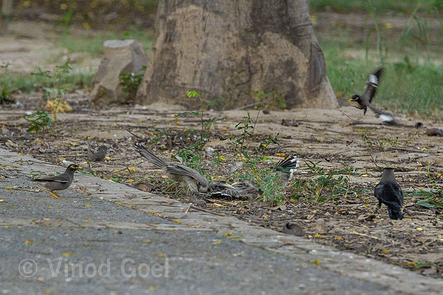 Two Grey Hornbill fight at Delhi
