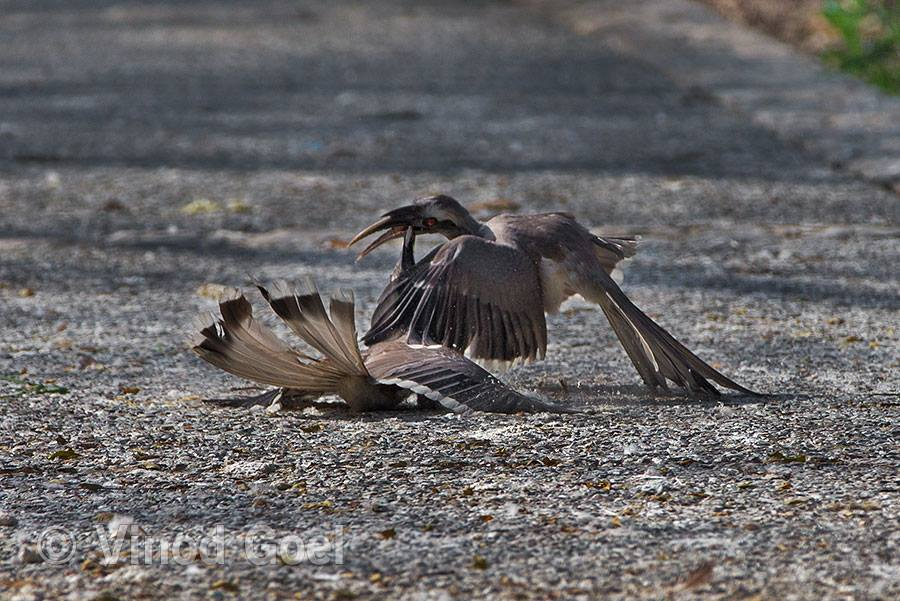 Two Grey Hornbill male fight at Delhi