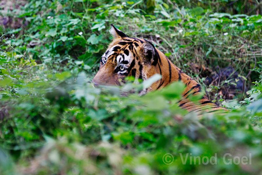 Ustad T 24 Tiger at Ranthambore Tiger Reserve