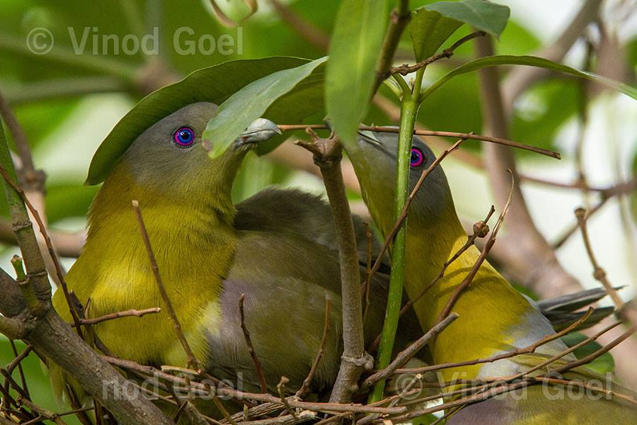 Yellow Footed Green Pegion Courtship at Delhi1