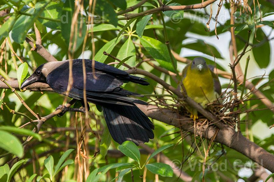 Yellow Footed Green Pegion with Crow at Delhi