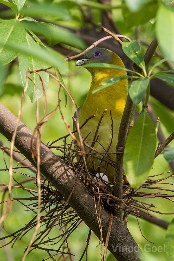 Yellow Footed Green Pegion with Egg at Delhi
