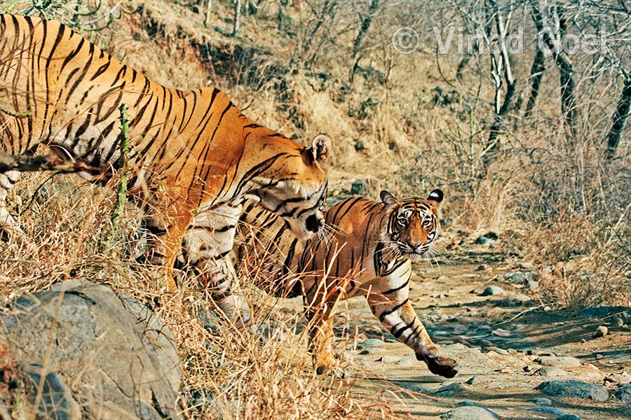 Courtship of T 28 (Star male ) and T 19( krishna) at Ranthambore Tiger Reserve