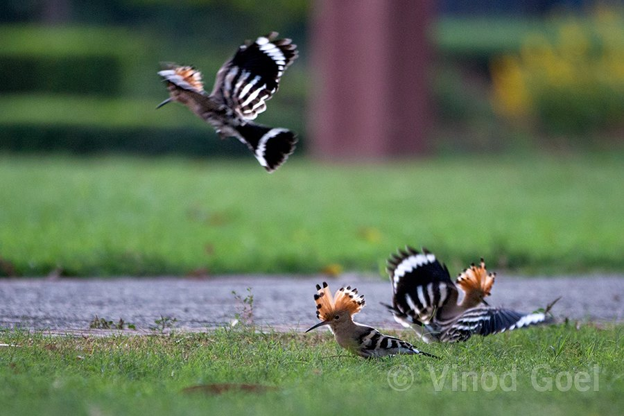Common Hoopoe family foraging for food in the grass at Delhi