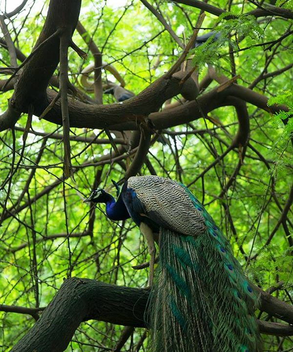 peacock and the snake at Delhi