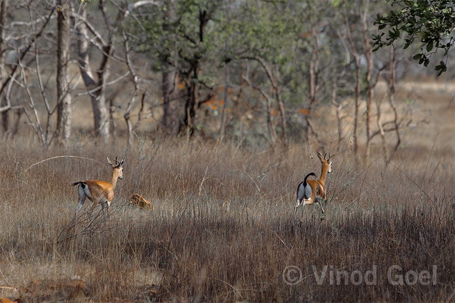 Chausingha in the grasslands of Panna Tiger Reserve