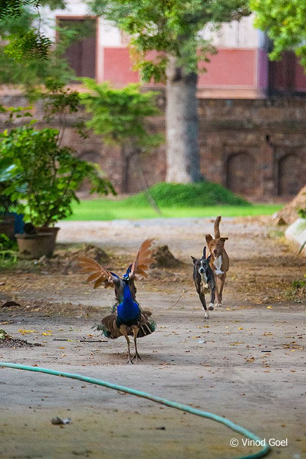 Dog Chasing Peacock at Delhi