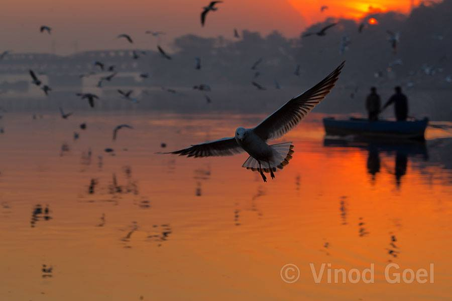Gull at Delhi