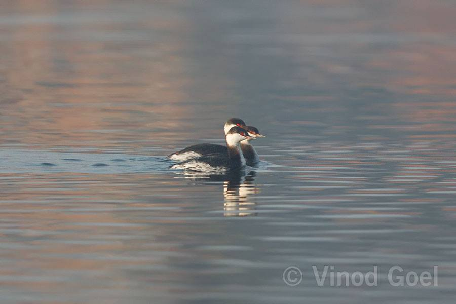 Horned Grebe group at Dighal