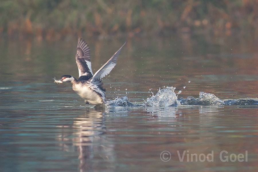 Horned Grebe or Slavonian Grebe having fish at Dighal