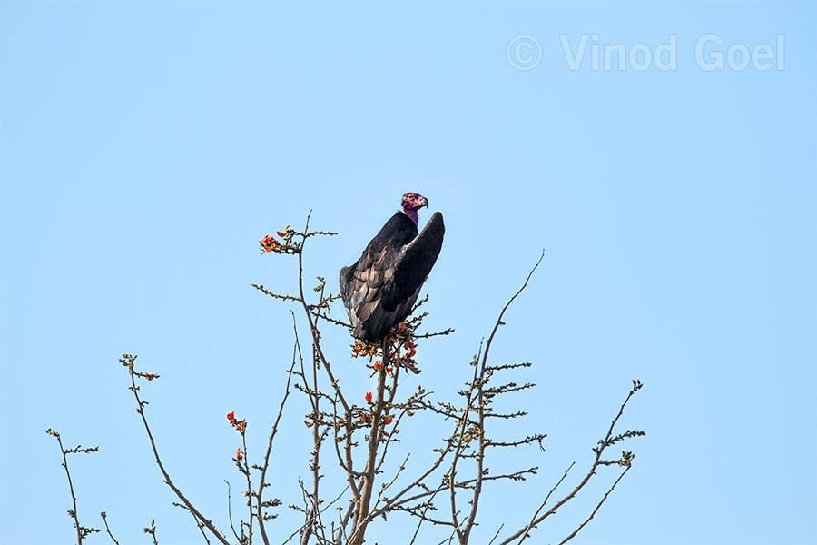 Red headed Vulture at Panna tiger Reserve