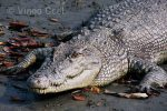 estuarine crocodile at Sundarban tiger reserve