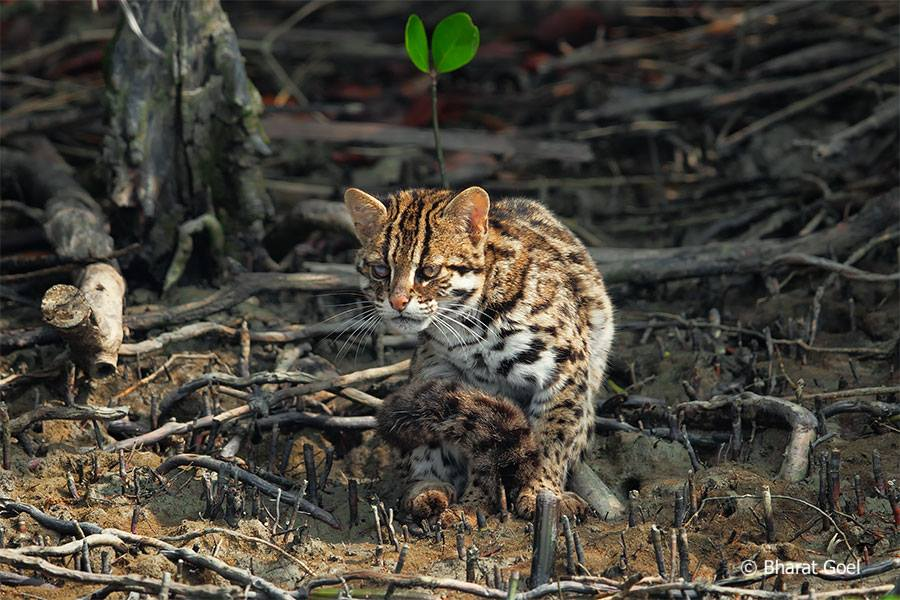 leopard cat at sundarban tiger reserve