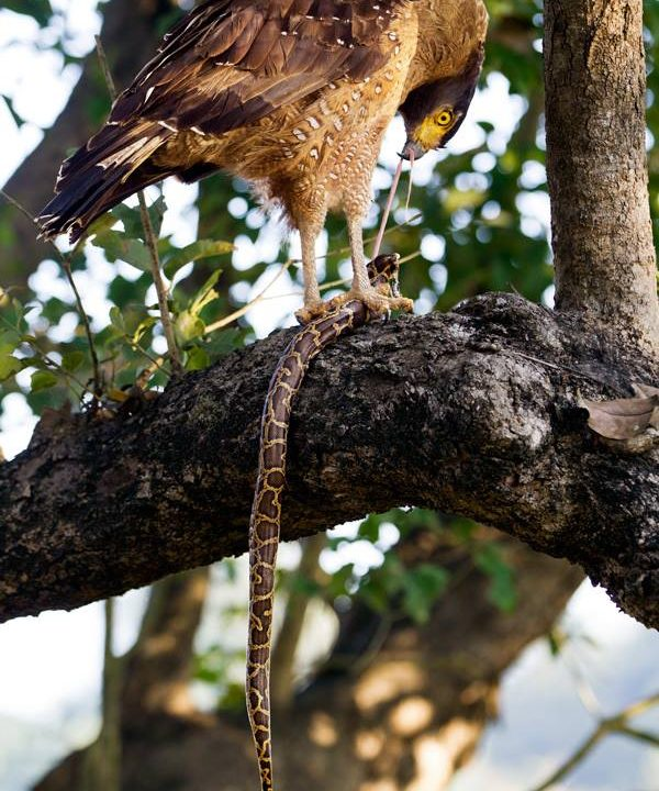 Crested Serpent Eagle feeding on Burmese Python at Dudhwa Tiger Reserve