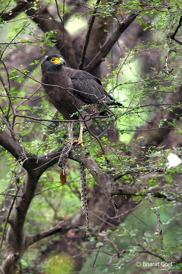 Crested Serpent Eagle feeding on Indian Python at Ranthambore Tiger Reserve