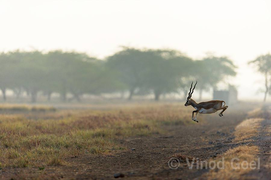 Blackbuck at Blackbuck National Park