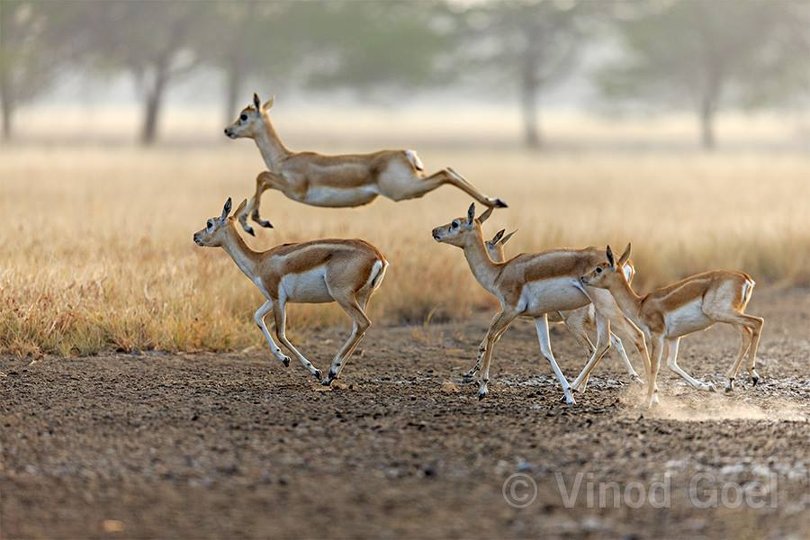 Blackbuck herd at Blackbuck National Park