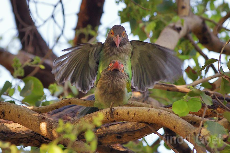 Brown headed barbet mating at Delhi