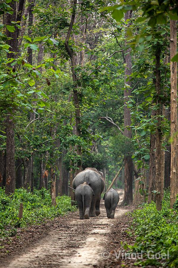 Elephant with baby at Dudhwa Tiger Rese