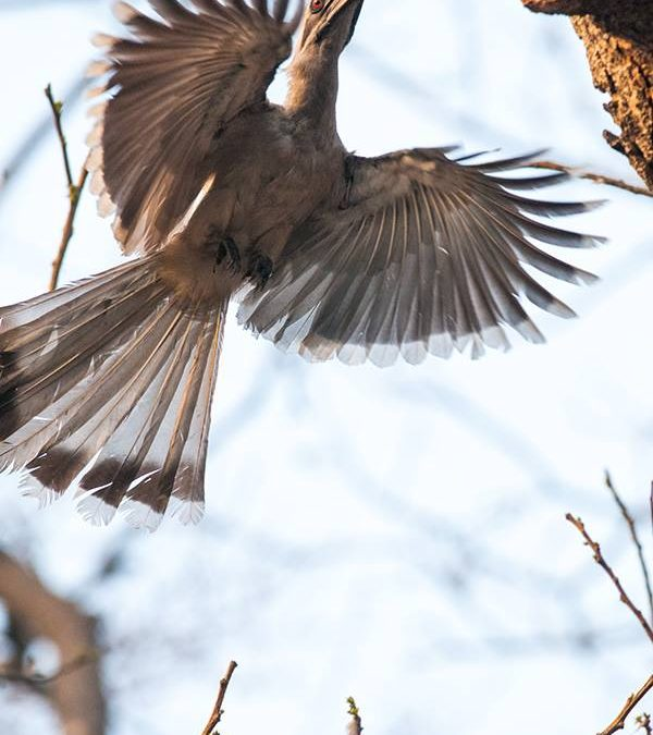 Grey Hornbill in flight at Delhi