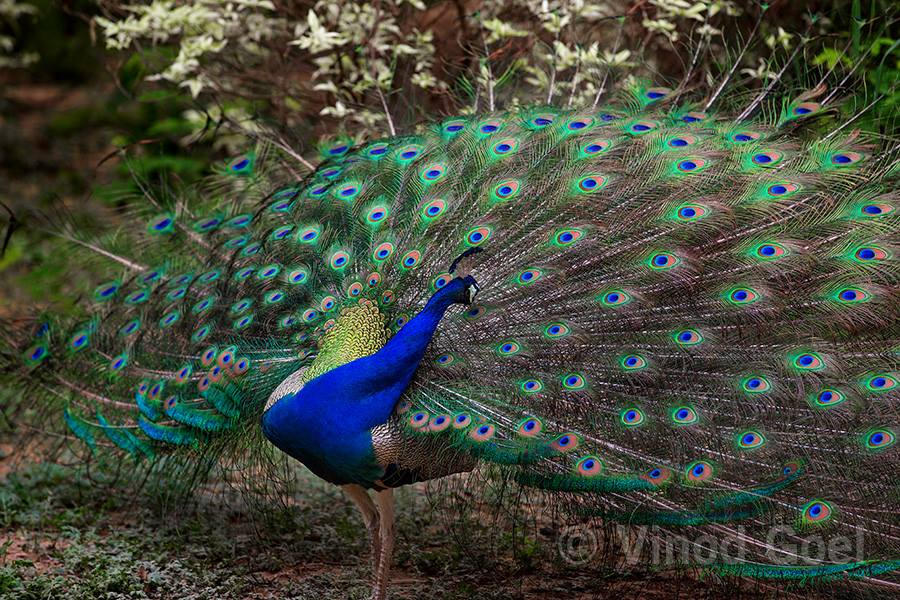 Peacock Dance at Delhi