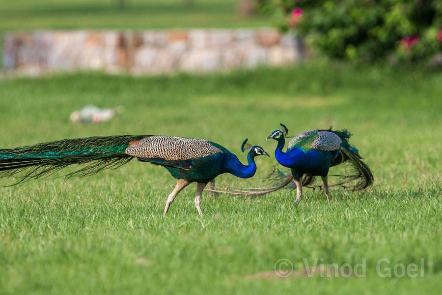 Two peacock at Delhi