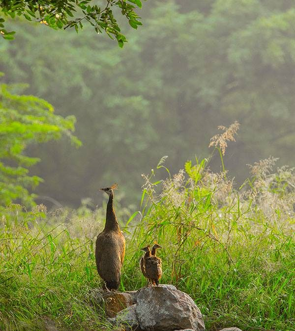 Peahen with chicks at Delhi