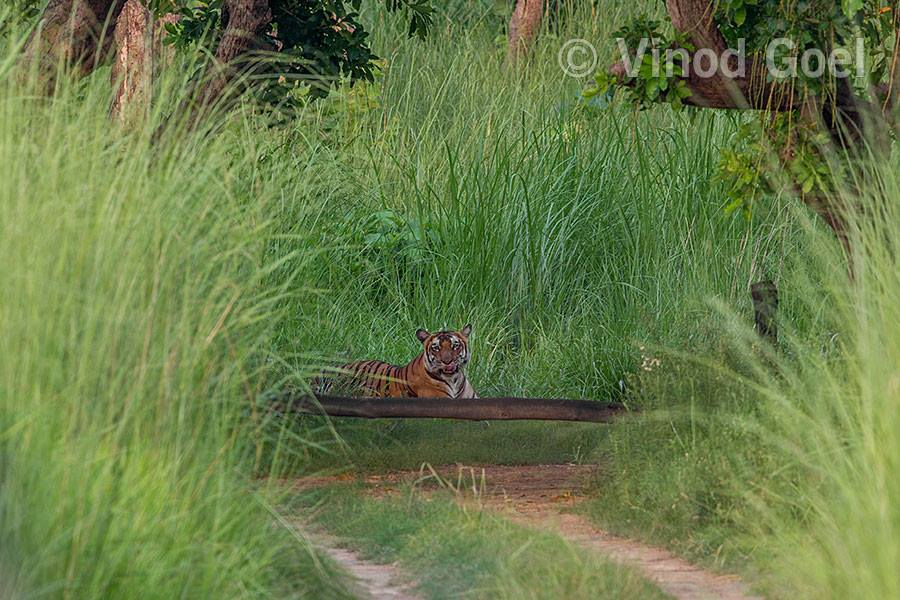 Tigress at Dudhwa Tiger Reserve