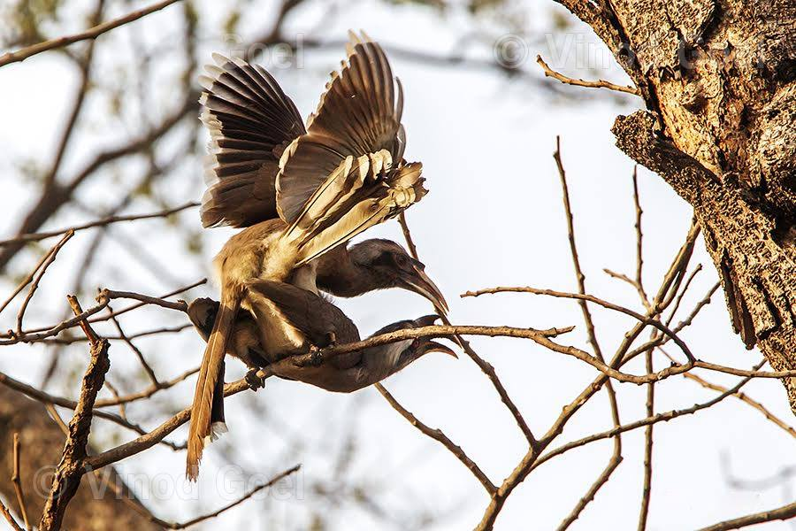 Indian Grey Hornbill Mating