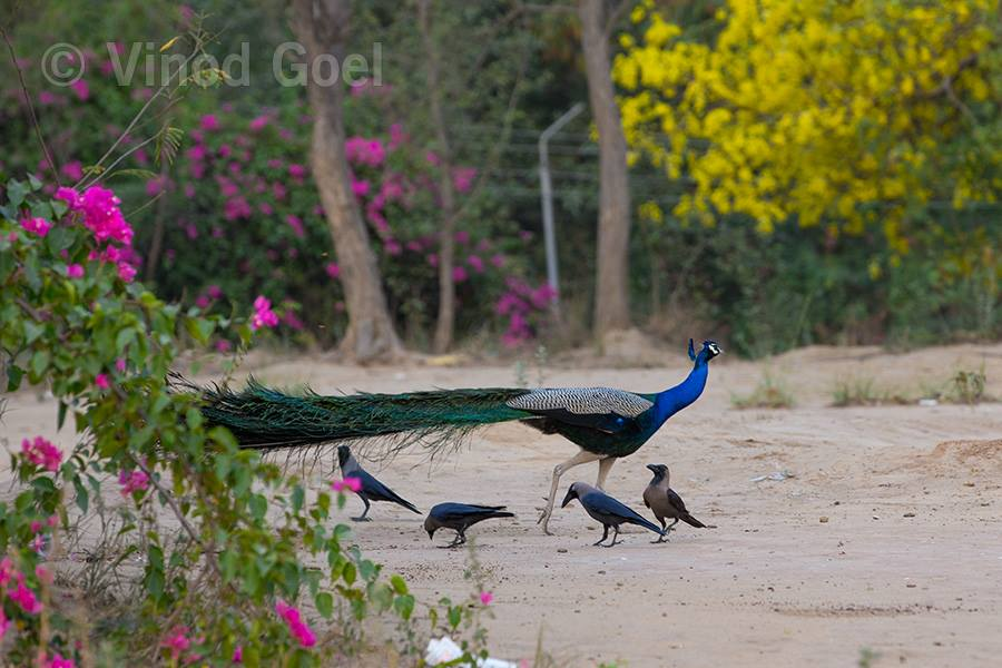 peacock and crow feeding ants at ludhiana