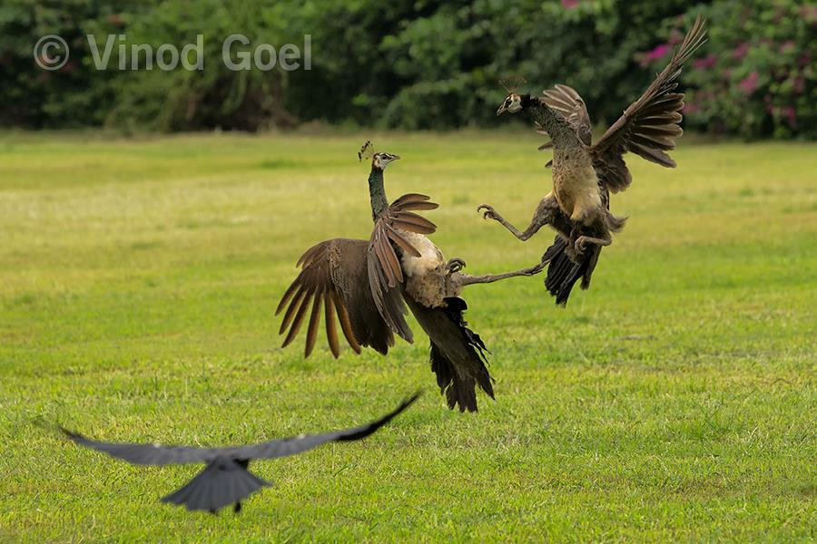 peahen fight at delhi