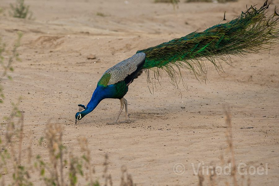 peacock feeding ants at ludhiana