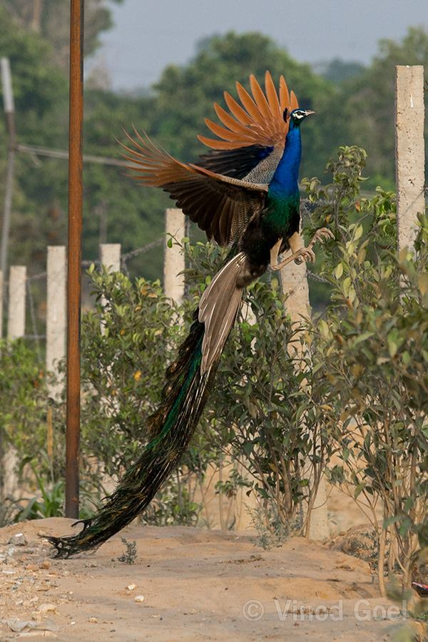 peacock at ludhiana