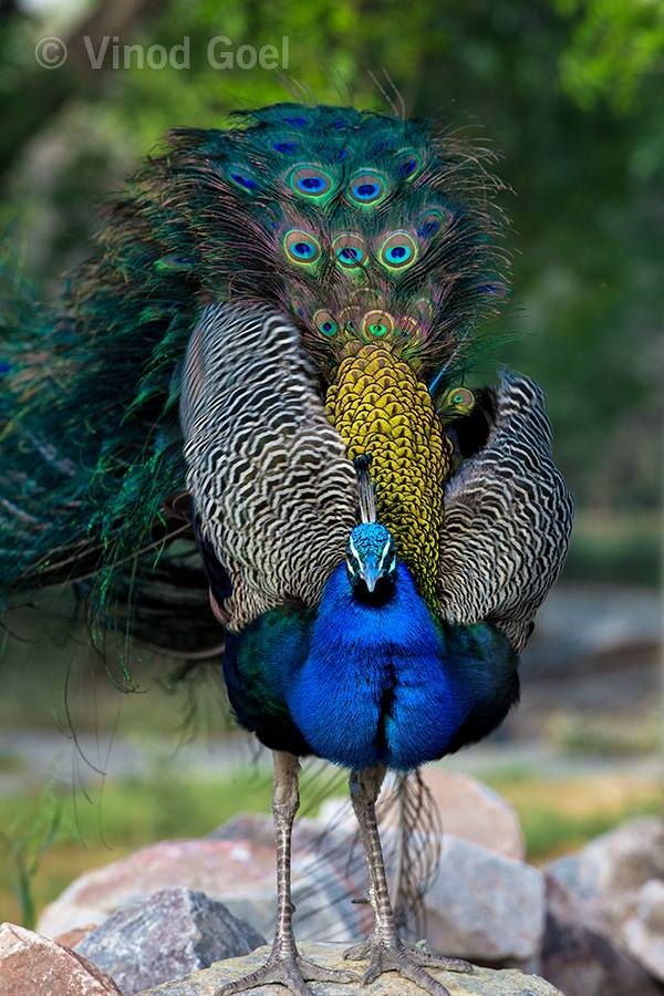 peacock at delhi
