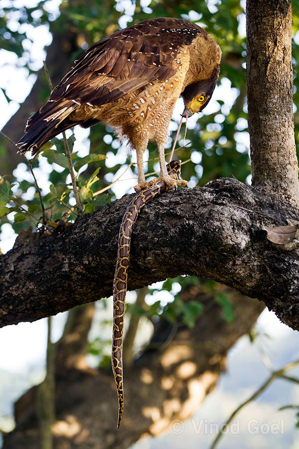 crested serpent eagle feeding burmese python at dudhwa tiger reserve