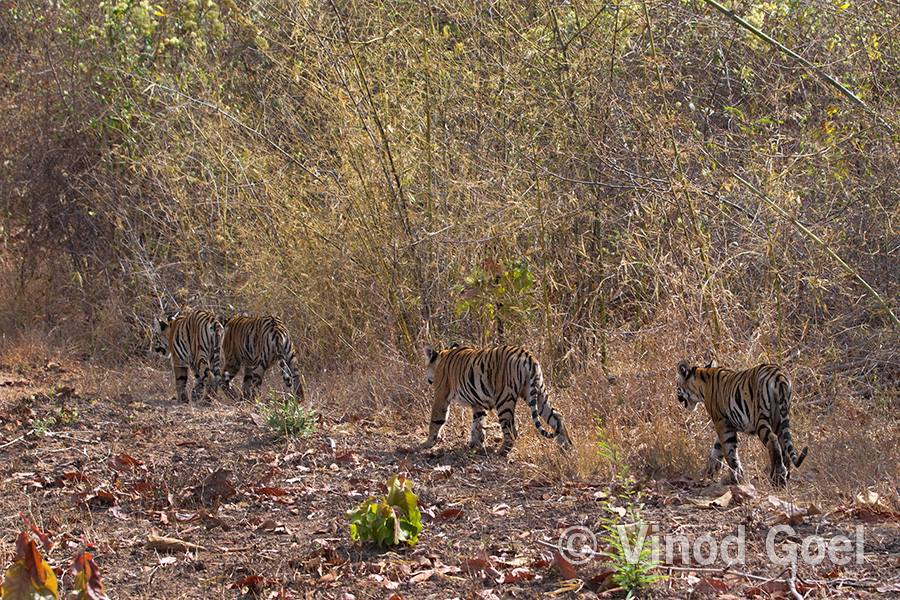 tiger cubs at tadoba andhari tiger reserve