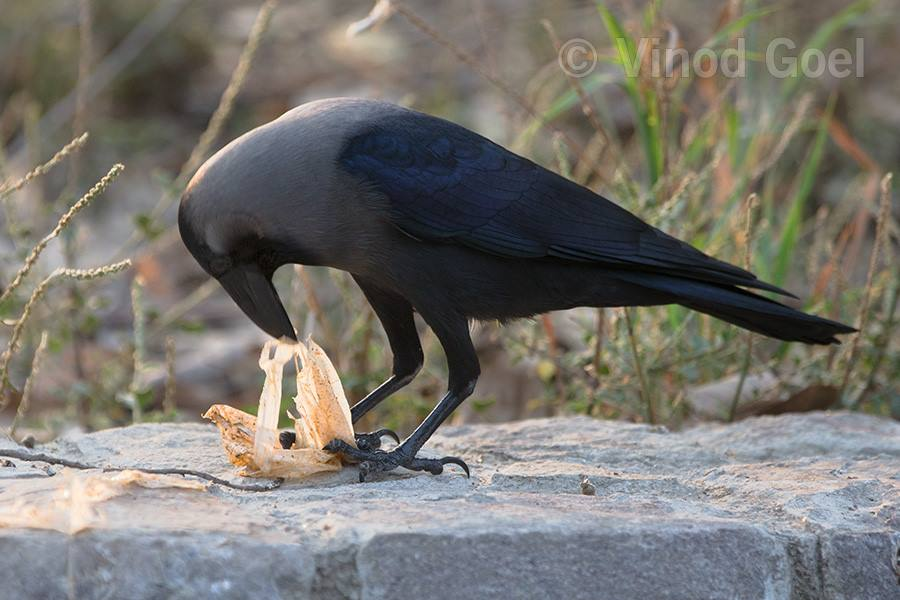 crow feeding polythene at delhi