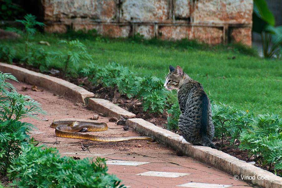Cat with snake at Hyderabad