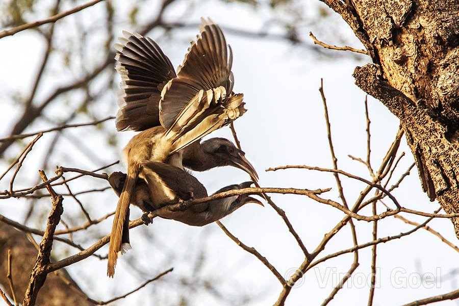 Grey Hornbill mating at Delhi