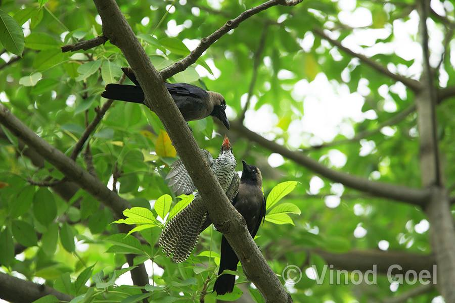 House Crow Feeding Asian Koel chick