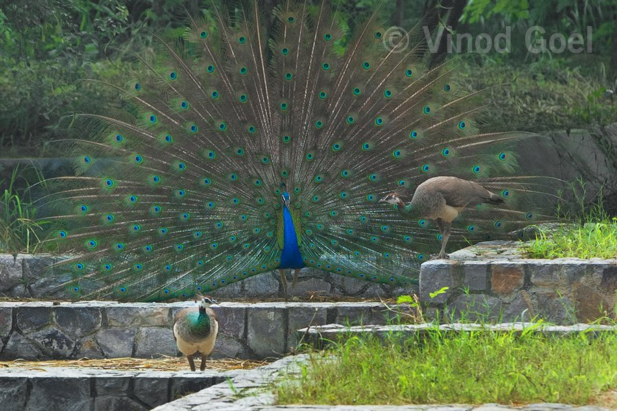 Peacock with two peahens at Delhi
