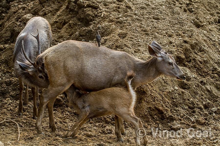 Female Sambar feeding male & calf