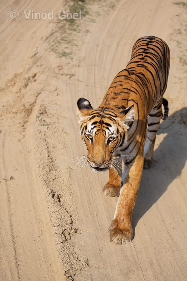 Tigress at Corbett Tiger Reserve